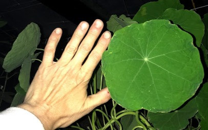 leaf shade nasturtium