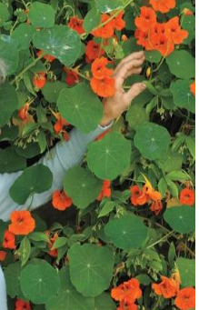 Why everyone should plant Nasturtiums!