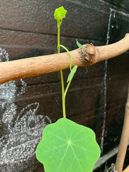 nasturtium flower climbing