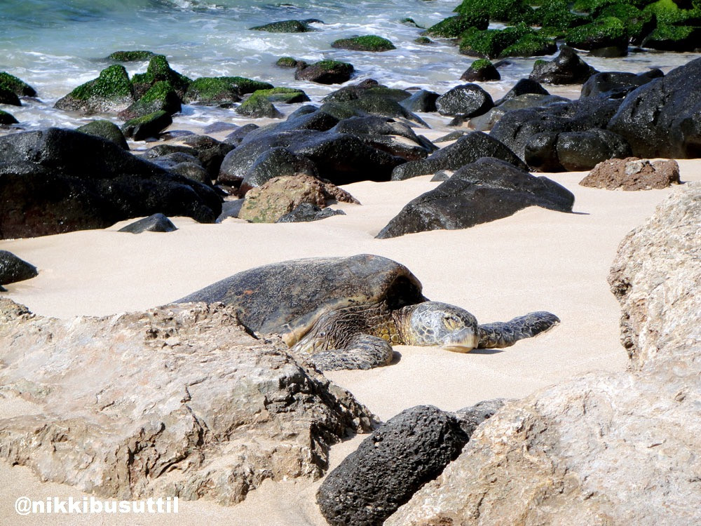 Brutus Basking at Turtle Bay, Northshore, Oahu