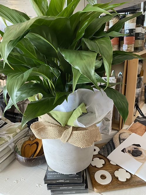 Peace Lilly in concrete Pot
