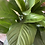 Thumbnail: Peace Lilly in concrete Pot