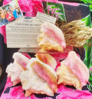 Hawaiian Conch Shell Horns - THEY'RE BACK!!