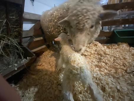 Lambing season is now in full swing at JK Evergreen Ranch!!