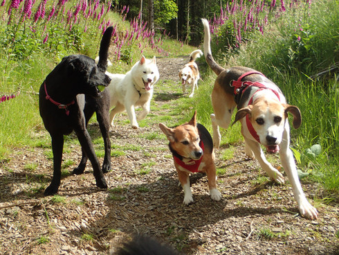 Lakeland Dog Walker, Professional Dog Walkers covering Cockermouth, Dearham, Brigham, Broughton Cross, Little Broughton, Great Broughton, Dovenby and Embleton, Cumbria.  We enjoy walking the fells, woodlands and round the lakes in the Cumbrian Lake District. We offer professional dog walking from 30mins to a full day as well as pet pop ins and socialisation sessions.We enjoy walking the fells, woodlands and round the lakes in the Cumbrian Lake District. We offer professional dog walking from 30mins to a full day as well as pet pop ins and socialisation sessions.