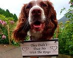 wedding dogs, dogs at wedding, wedding dog sitter,lake district, keswick, cockermouth, dog walker, wedding day goals, inn on the lake