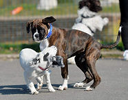 Boxer Puppy, Spaniel Puppy,Laeand Dog Walker, Puppy Play Date, Cockermout, Keswick