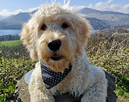 Goldendoodle,Bindi Le Voi, Cockermuth, Keswick, Cumbra, Dog Walker, Lakeland Dog Walker
