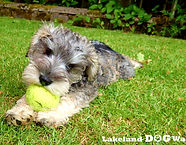 Lakeand Dog Walker, Dog Walker, Keswick, Cockermouth, Dearham, Broughton, Puppy, Walkies, Doggy Day Care, Schnauzer