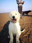 Goldendoodle, puppy, allonby, kewick, cockermouth, lakeland dog walker, dog walker, walkes