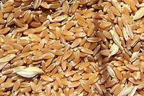 Pedigree Durum Wheat Seeds at Townview Seeds Ltd.