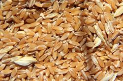 Durum Wheat Seed