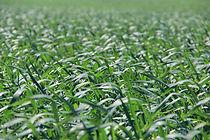 Wheat field at Townview Seeds Ltd. in Southwest Saskatchewan.