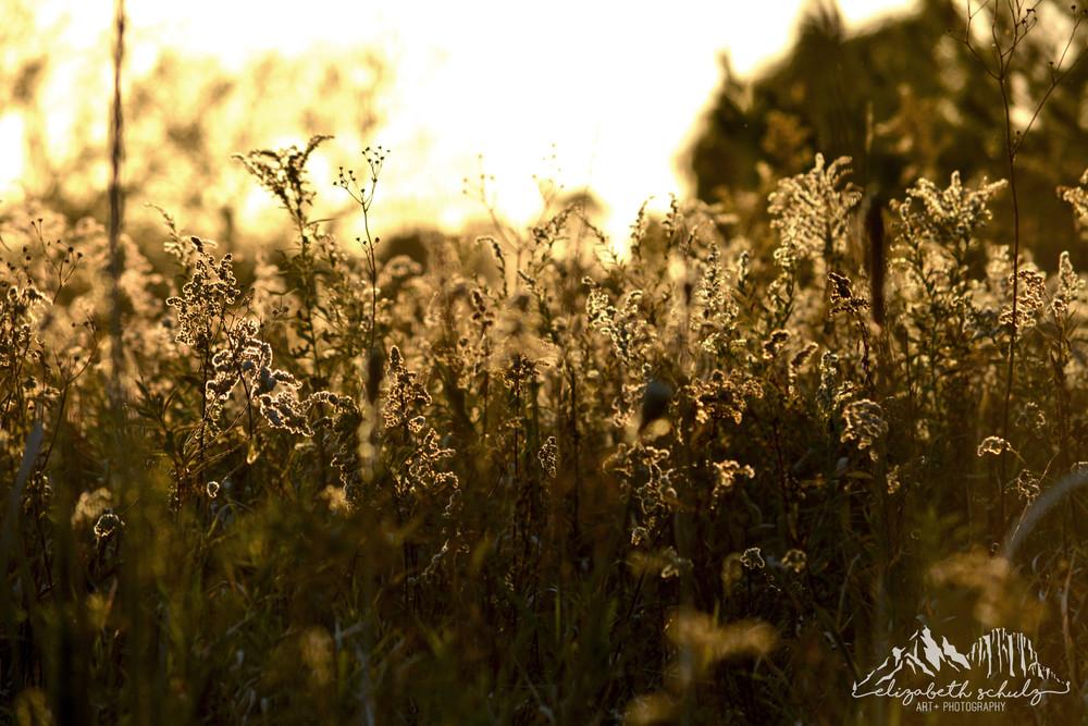 Sparkling Golden Grass