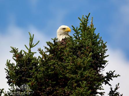 Canadian Bald Eagle