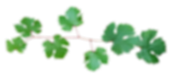 grape-vine-3279823_960_720.png