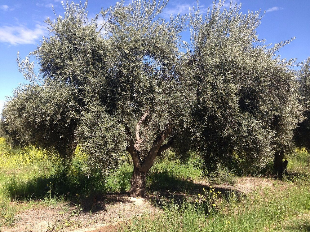Olive tree Mendoza