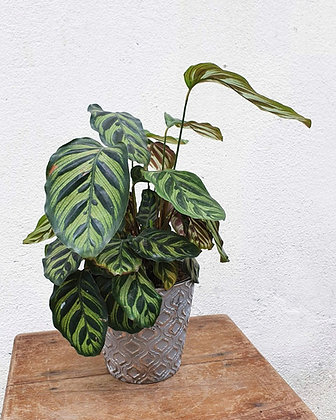 Calathea makoyana (Tianara)