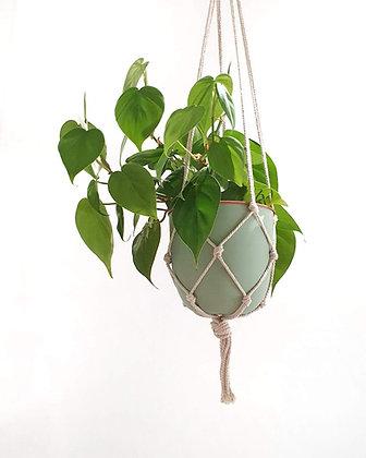 Philodendron cordatum (Fernanda)