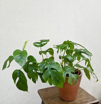 Rhaphidophora tetrasperma (Zainal)
