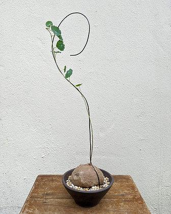 Stephania erecta (Kiet)