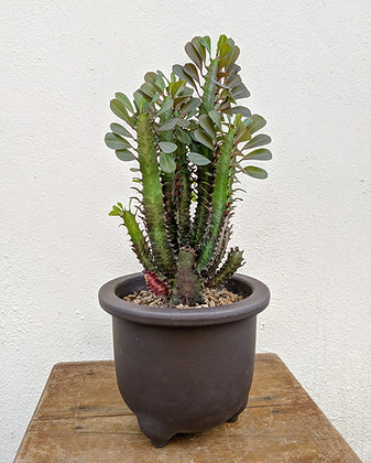 Euphorbia Trigona (Adama)