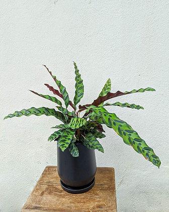 Calathea Lancifolia (Lucas)