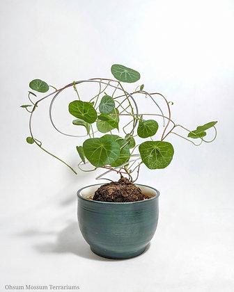 Stephania cepharantha 'Hayata'