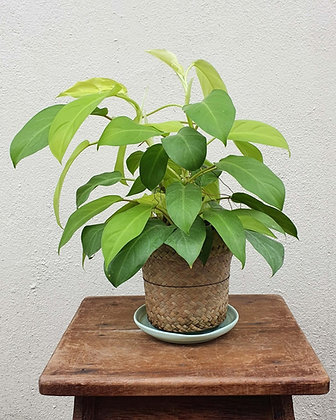 Philodendron Lemon Lime (Bianka)