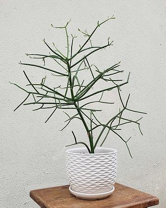 Euphorbia tirucalli (Thabisa)