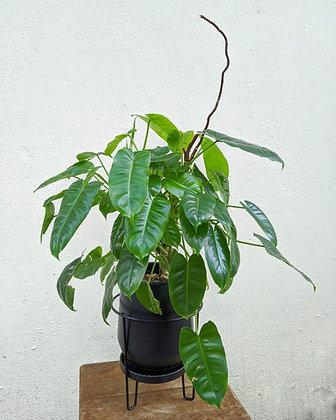 Philodendron Burle Marx (Micaela)