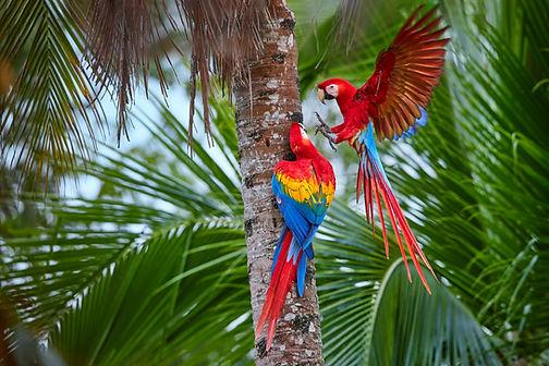 Two Ara macao, Scarlet Macaw, pair of bi