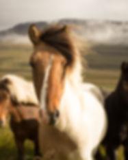 Дикие исландские лошади