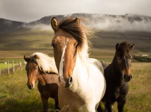 Yabani İzlandalı Atlar