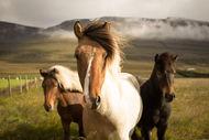 Los caballos islandeses salvajes