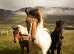 Hippoluz, luzerne voor alle paarden