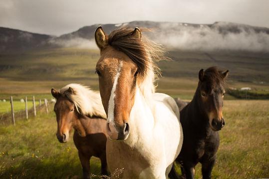Wild IJslandse paarden