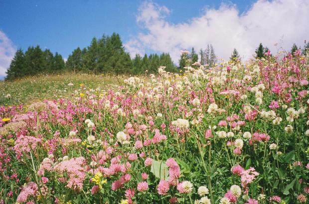 Dolomite Wild Flowers