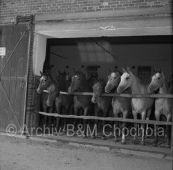 Koně - u ohrazení 1953 (479)