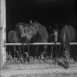 Koně - u ohrazení 1953 (142)