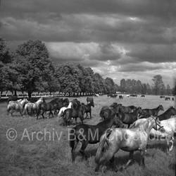 Koně - ve výběhu pastva_1953 (91)