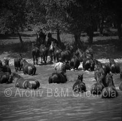 Koně - plavení koní 1953 (184)