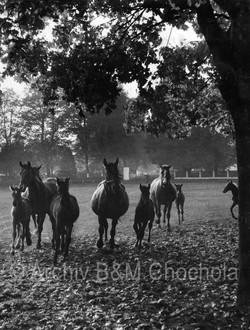Koně,_Kladruby