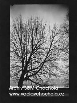 Strom na Kampě, 1963