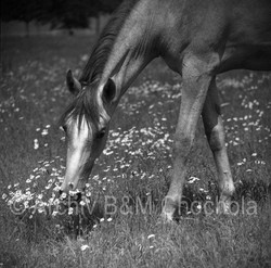 Koně - detail 1953 (346)