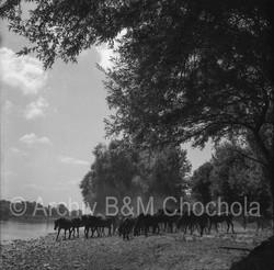 Koně - plavení koní 1953 (331)