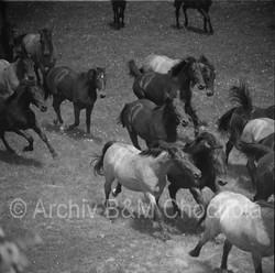 Koně - 1953 (121)