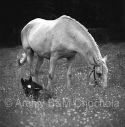 Koně, klisna s hříbětem 50 léta
