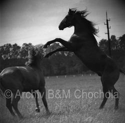 Koně - 1953 (20)