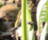 Пестрогорлый бюльбюль (Pycnonotus finlaysoni) Stripe-throated Bulbul